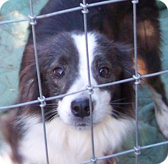 Sheltie, Shetland Sheepdog Dog for adoption in Guthrie, Oklahoma - Daisy