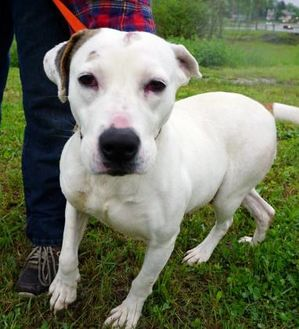 American Pit Bull Terrier Mix Dog for adoption in Salem, Ohio - Diamond