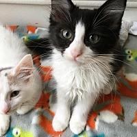 Domestic Mediumhair Kitten for adoption in Atlanta, Georgia - Cirrus170930