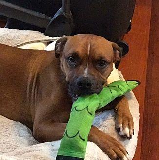 Boxer/Labrador Retriever Mix Dog for adoption in Hayes, Virginia - Blaze