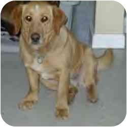 Golden Retriever/Retriever (Unknown Type) Mix Dog for adoption in Cole Camp, Missouri - Abby