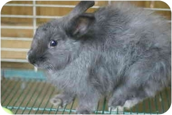 Jersey Wooly Mix for adoption in Lewisville, Texas - Pearl