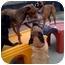Photo 4 - Labrador Retriever/Australian Shepherd Mix Dog for adoption in Peoria, Illinois - Superman