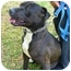 Photo 4 - American Pit Bull Terrier Mix Dog for adoption in Berkeley, California - Isaac