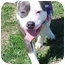 Photo 3 - Pit Bull Terrier Dog for adoption in Huntington, New York - Blossom