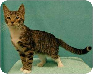 Domestic Shorthair Cat for adoption in Sacramento, California - Arthur