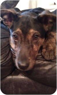 Dutch Shepherd Mix Puppy for adoption in Northville, Michigan - Bauer