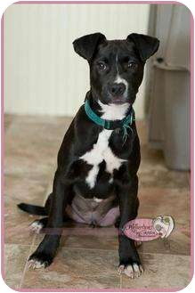 Boxer/Boston Terrier Mix Puppy for adoption in Haverhill, Massachusetts - TEX