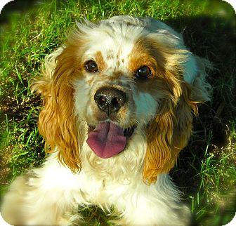 Cocker Spaniel Dog for adoption in El Cajon, California - Groovy
