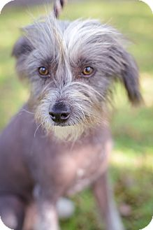 Chinese Crested Dog for adoption in Houston, Texas - Milo