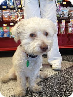 Bichon Frise/Poodle (Miniature) Mix Dog for adoption in Van Nuys, California - Marley