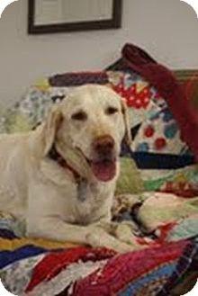 Labrador Retriever Mix Dog for adoption in Nashville, Tennessee - Shelby