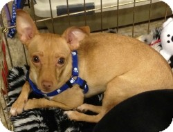Chihuahua Mix Dog for adoption in Mesa, Arizona - Queso
