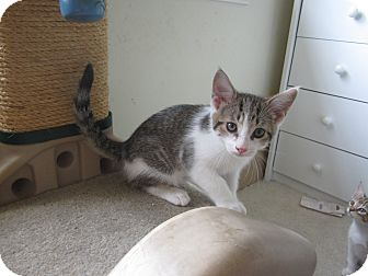 Domestic Shorthair Kitten for adoption in Chesterfield Township, Michigan - Tommy