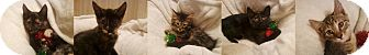 Domestic Shorthair Kitten for adoption in Richmond, Virginia - Reeses