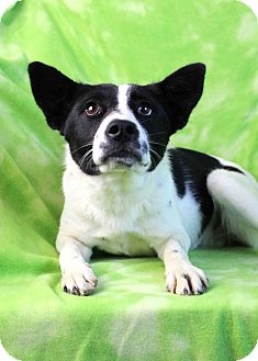 Border Collie/Australian Cattle Dog Mix Dog for adoption in Westminster, Colorado - SIOBHAN