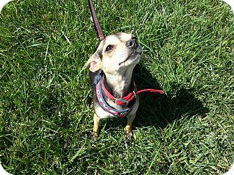 Chihuahua Mix Dog for adoption in Santa Ana, California - Bambi