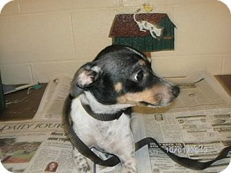 Chihuahua/Terrier (Unknown Type, Small) Mix Dog for adoption in Rockingham, North Carolina - Speckles