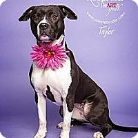 Adopt A Pet :: Taylor - Medford, NJ