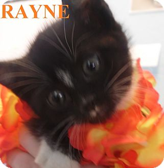 Domestic Shorthair Kitten for adoption in Franklin, North Carolina - RAYNE