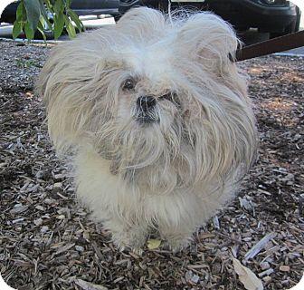 Shih Tzu Dog for adoption in Oak Ridge, New Jersey - Bo-NEGLECT CASE:(