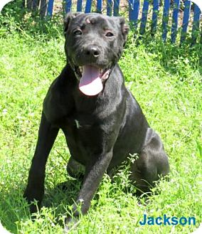 American Bulldog Mix Dog for adoption in Georgetown, South Carolina - Jackson