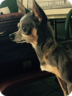 Chihuahua Mix Dog for adoption in San Diego, California - Sergio