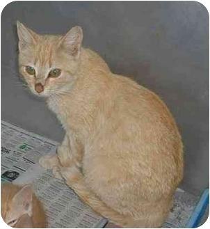 Domestic Shorthair Cat for adoption in Blacksburg, Virginia - Annabelle