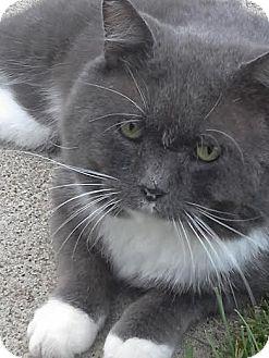 Domestic Shorthair Cat for adoption in Columbus, Ohio - Hulk