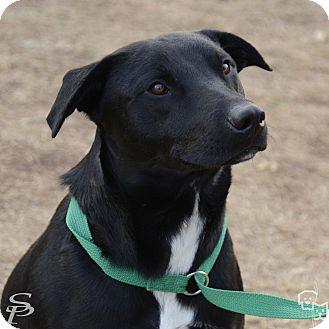 Labrador Retriever/Pit Bull Terrier Mix Dog for adoption in Stillwater, Oklahoma - Fridolph