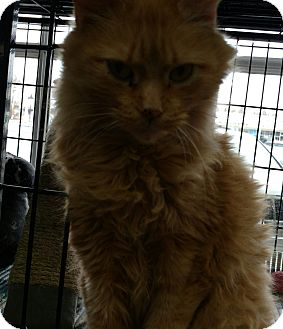 Maine Coon Cat for adoption in Randolph, New Jersey - Rusty