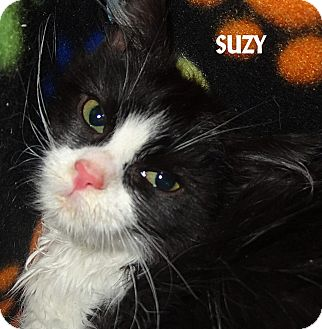 Domestic Longhair Cat for adoption in Lapeer, Michigan - SUZY--LONG HAIRED FUZZBALL!