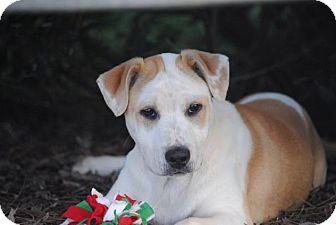 Labrador Retriever/American Bulldog Mix Puppy for adoption in Cedartown, Georgia - Brooks