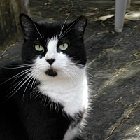 Domestic Shorthair Cat for adoption in Naples, Florida - Missy