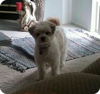 Poodle (Miniature)/Lhasa Apso Mix Dog for adoption in Rochester Hills, Michigan - Maggie