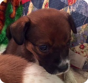 Terrier (Unknown Type, Medium) Mix Puppy for adoption in ST LOUIS, Missouri - KIWI