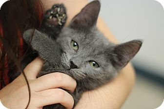 Russian Blue Kitten for adoption in Marietta, Georgia - Princeton