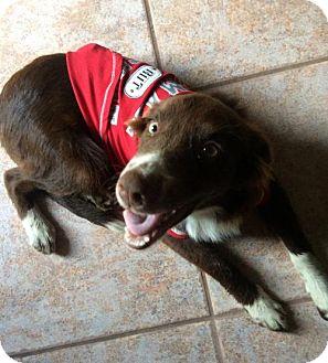 Border Collie Mix Dog for adoption in ROSENBERG, Texas - Canela