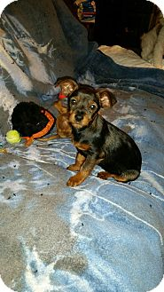 Chihuahua/Terrier (Unknown Type, Small) Mix Puppy for adoption in Bellingham, Washington - Taffy