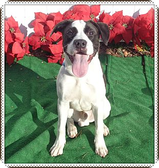 American Bulldog Mix Puppy for adoption in Marietta, Georgia - SCOOBY