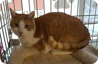 Domestic Shorthair Cat for adoption in Raritan, New Jersey - Freddy