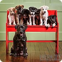 Adopt A Pet :: Maui - Owensboro, KY