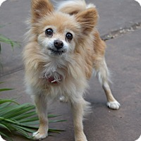 Adopt A Pet :: Goldie - conroe, TX