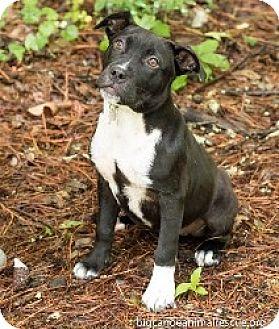 Labrador Retriever/American Pit Bull Terrier Mix Puppy for adoption in Big Canoe, Georgia - Edna