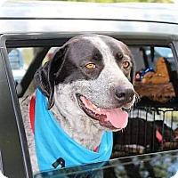 Adopt A Pet :: Zoura - Fort Worth, TX