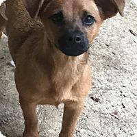 Adopt A Pet :: Sage - Charlotte, NC