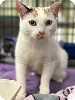 Domestic Shorthair Cat for adoption in Waldorf, Maryland - Cinderella