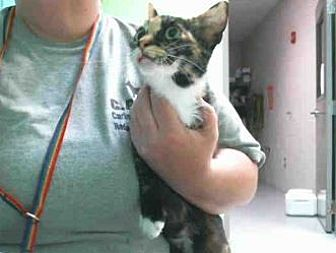 Domestic Shorthair Cat for adoption in Montgomery, Texas - Leanne