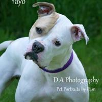 American Pit Bull Terrier Mix Dog for adoption in Fond du Lac, Wisconsin - Yayo