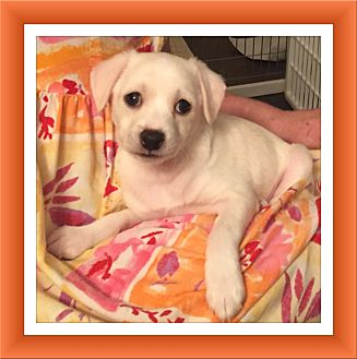 Bichon Frise/Chihuahua Mix Puppy for adoption in Tulsa, Oklahoma - Adopted!! Linus - NV